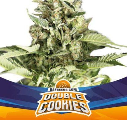SensorySeeds Planta Double Cookies Autofloreciente