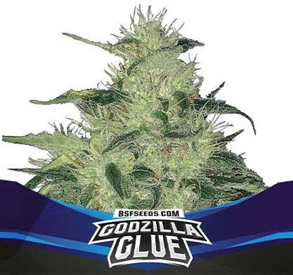 SensorySeeds Planta Godzilla Glue Autofloreciente