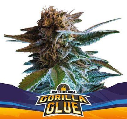 SensorySeeds Planta Gorilla Glue Autofloreciente