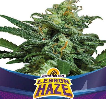 SensorySeeds Planta Lebron Haze Autofloreciente