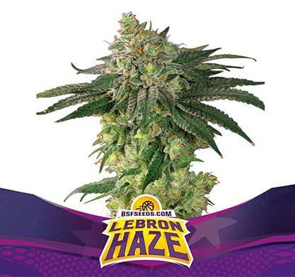 SensorySeeds Planta Lebron Haze Feminizada