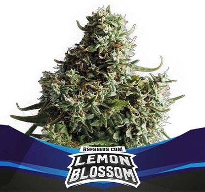SensorySeeds Planta Lemon Blossom Autofloreciente
