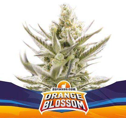 SensorySeeds Planta Orange Blossom Autofloreciente