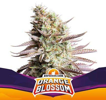 SensorySeeds Planta Orange Blossom Feminizada