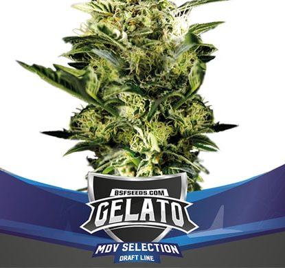 Planta Gelato XXL de semillas autoflorecientes