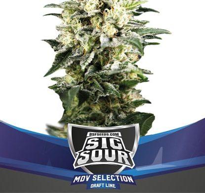 Planta Sig Sour XXL de semillas autoflorecientes