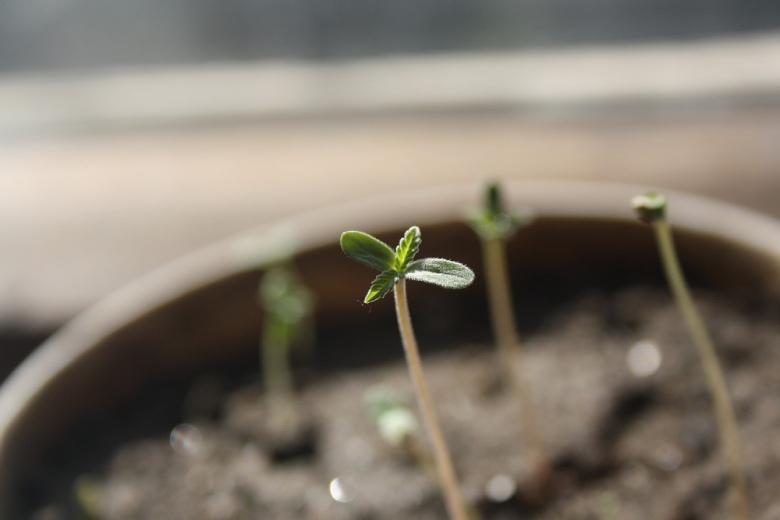rápida germinación de semillas de cannabis