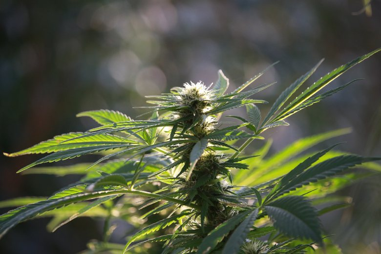 semillas de cannabis al aire libre