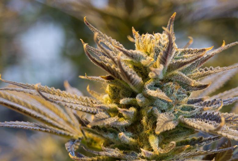 tipos de semillas legales del CDB