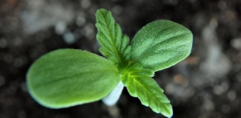 vitalidad de las semillas de cannabis