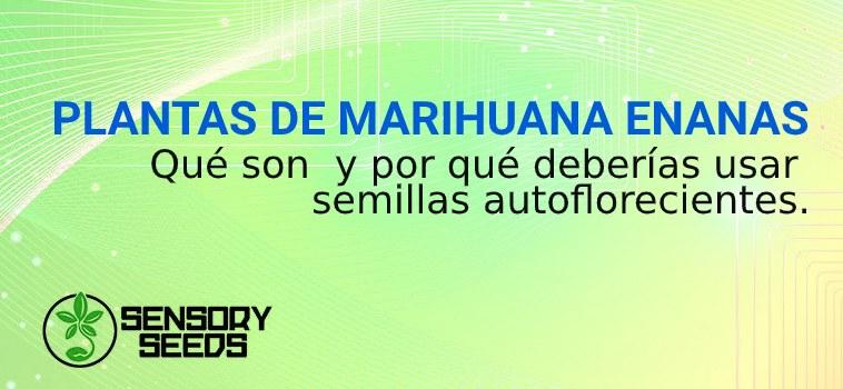 semillas autoflorecientes y marihuana enanas