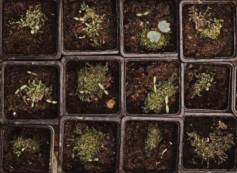 semillas de cáñamo plantadas en el suelo