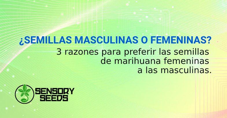 semillas de marihuana femeninas y masculinas