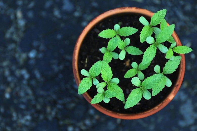 semillas de marihuana invernales