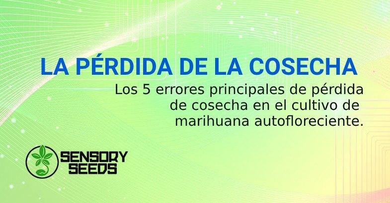 COSECHA DE SEMILLAS AUTOFLORECIENTES