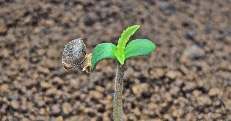 Plantar semillas de cannabis en un apartamento
