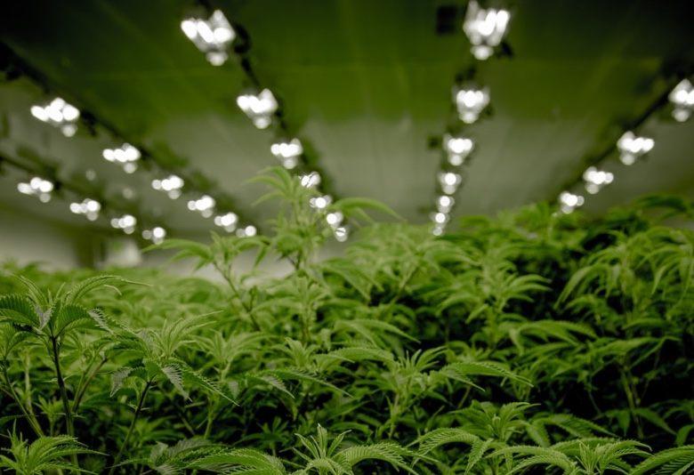 cultivo de semillas de cannabis con luz artificial
