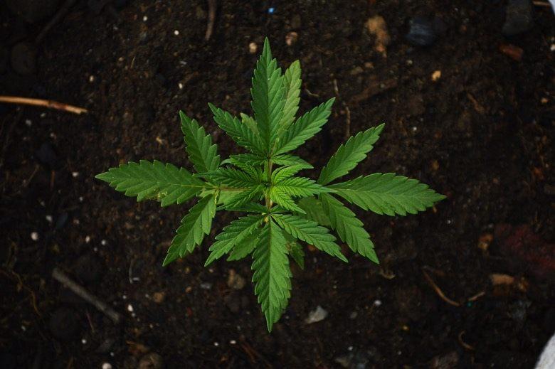 cultivo de semillas de marihuana en espana