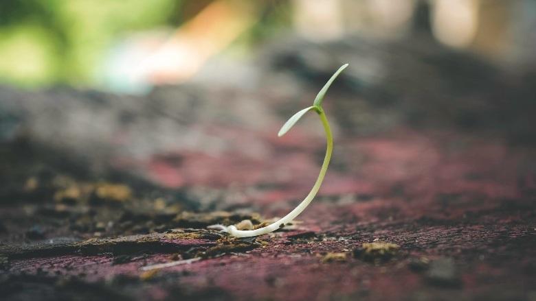 rápido cultivo de semillas autoflorecientes en exterior