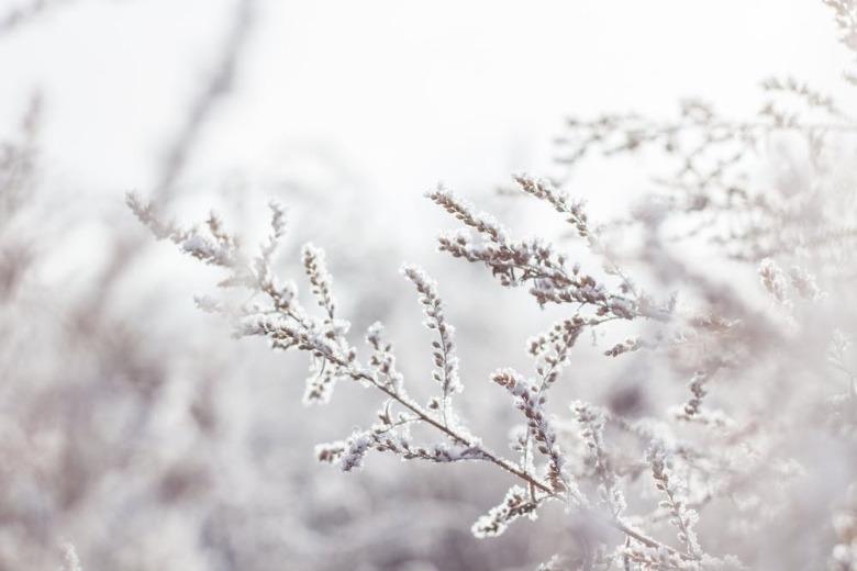 semillas autoflorecientes en invierno