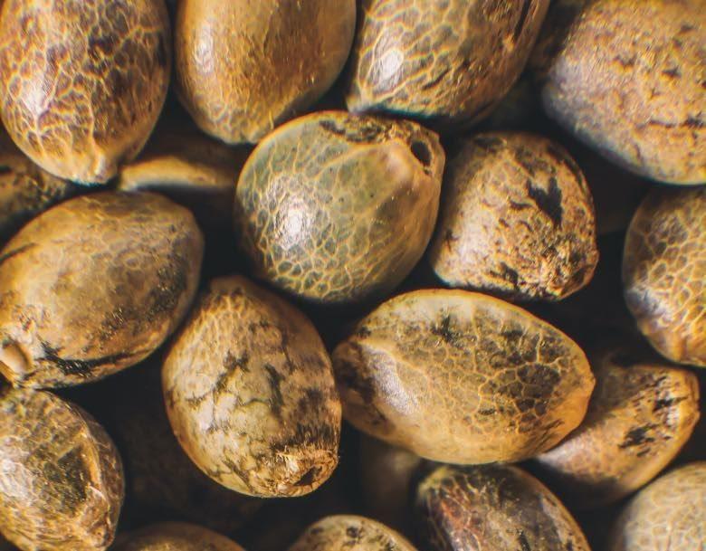 usos de las semillas de cannabis