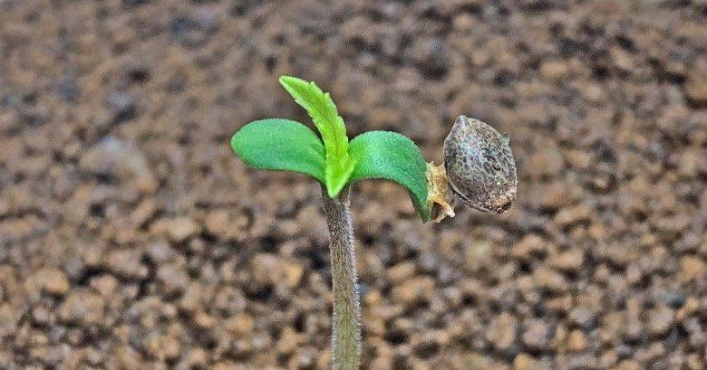 semillas de cannabis autoflorecientes feminizadas