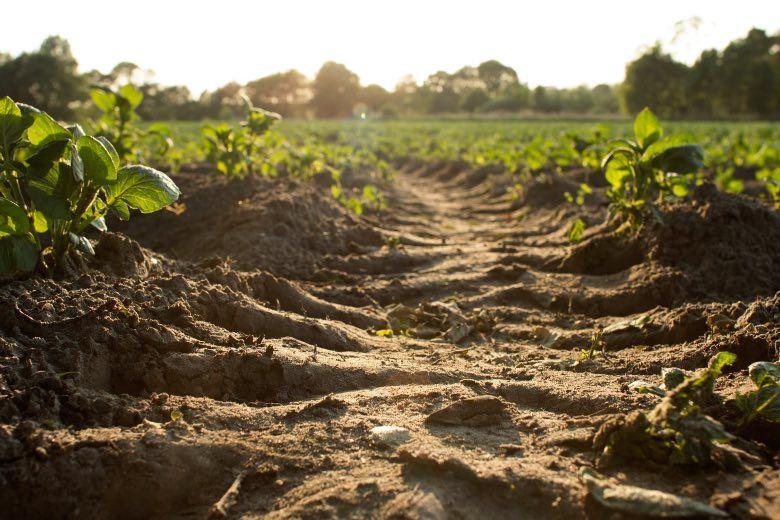 semillas feminizadas de cultivo al aire libre