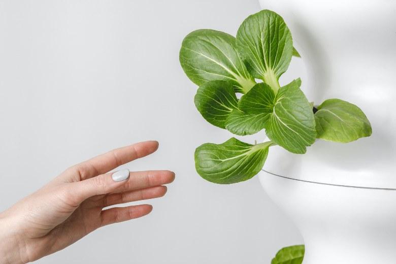 cultivar semillas de marihuana con invernadero hidropónico