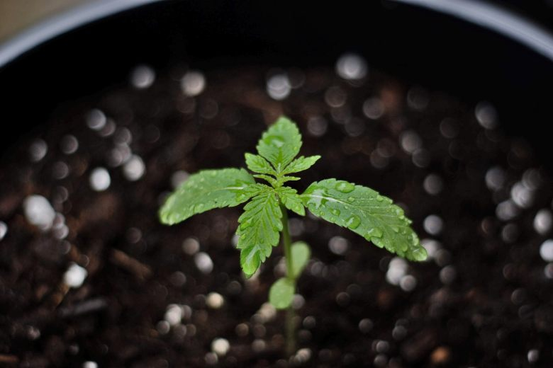 cultivar una marihuana bonsái a partir de semillas de cannabis