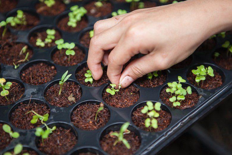 guano de murciélago para las plantas y semillas de marihuana