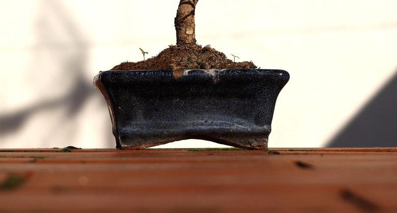maceta para cultivar bonsáis a partir de semillas de cannabis