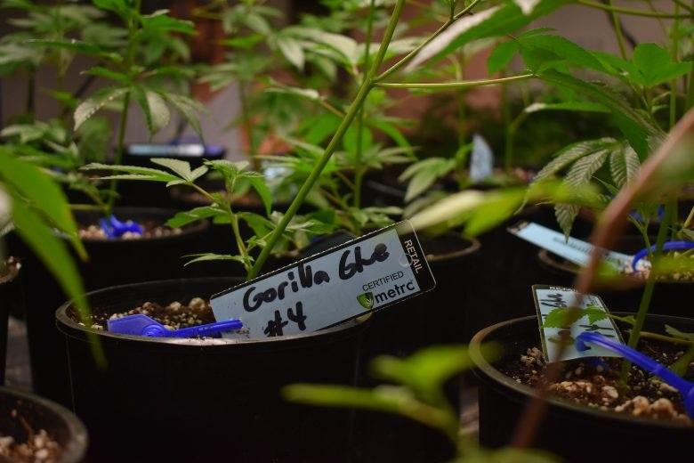 mejor marihuana y semillas de cannabis gorilla glue