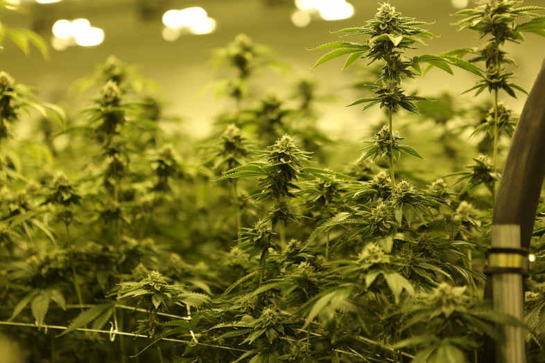 Low stress training marijuana