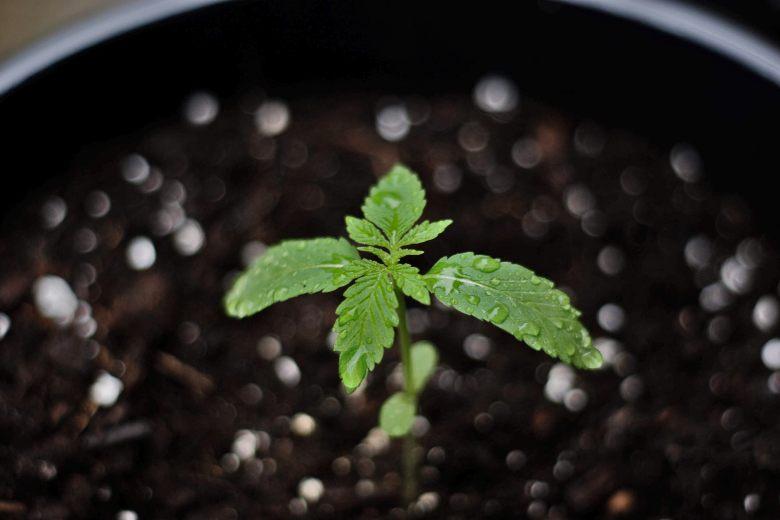 Marihuana Bonsai realmente existe
