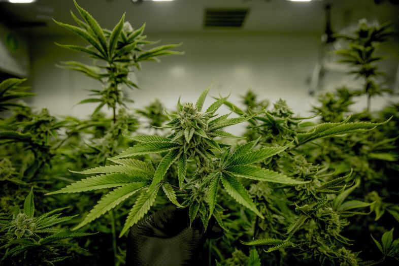 Vender semillas de cannabis: 3 consejos