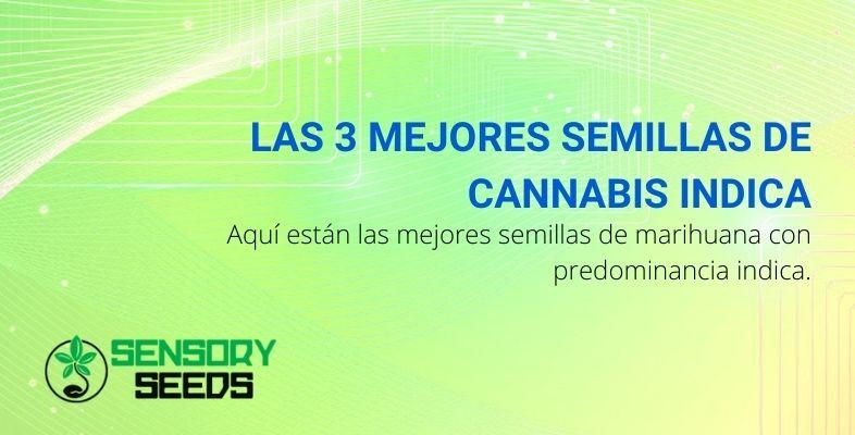 Las 3 mejores semillas de cannabis Indica