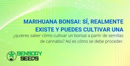 Marihuana Bonsai: Sí, realmente existe y puedes cultivar una