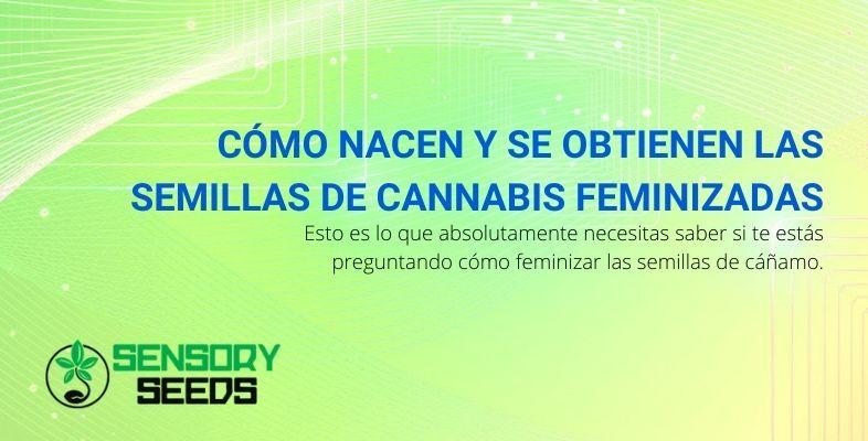 Cómo nacen y se obtienen las semillas de cannabis feminizadas