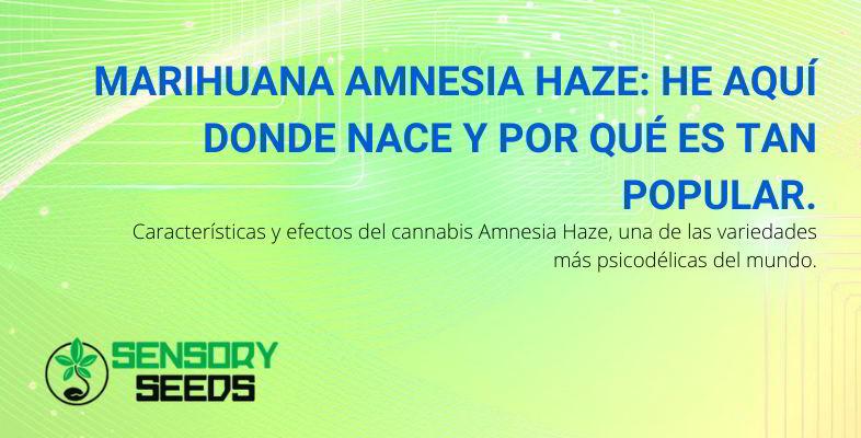 Marihuana Amnesia Haze.