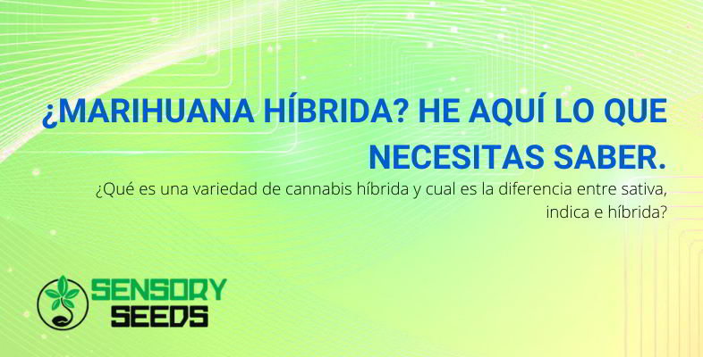 Marihuana híbrida.
