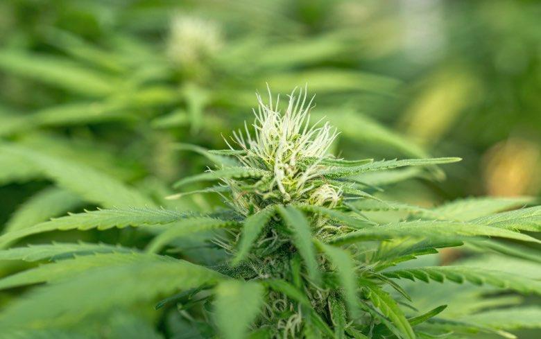¿existe la marihuana blanca?