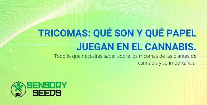 Tricomas: qué son y qué papel juegan en el Cannabis.