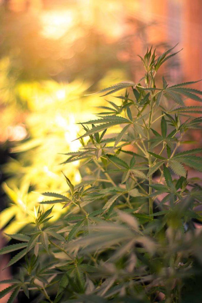 ¿Cómo se obtiene un corte de cannabis?