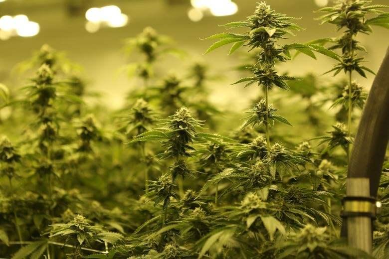 Los pros y los contras de cultivar cannabis en interiores