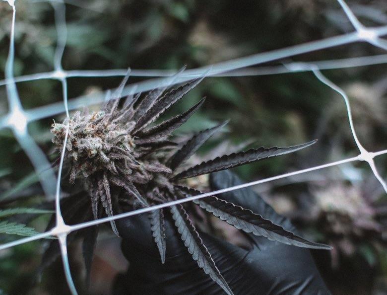 Qué son las plantas autoflorecientes y qué características heredan de la Ruderalis