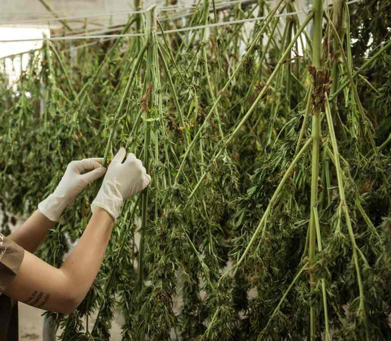Antes del bronceado, las flores de cannabis se secan.