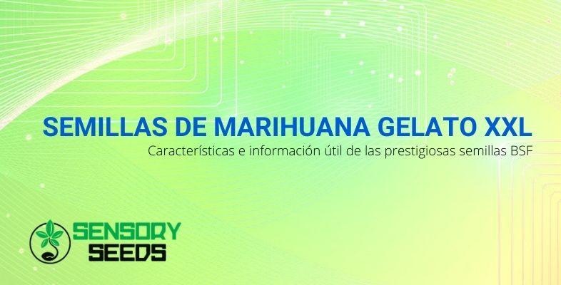 Las prestigiosas semillas de marihuana BSF, Gelato XXL: información y características