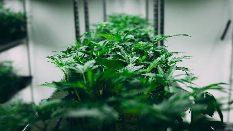 Cannabis autofloreciente cultivado en un entorno reducido