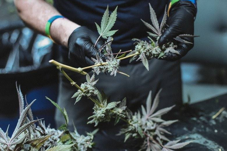 La colección de flores de cannabis