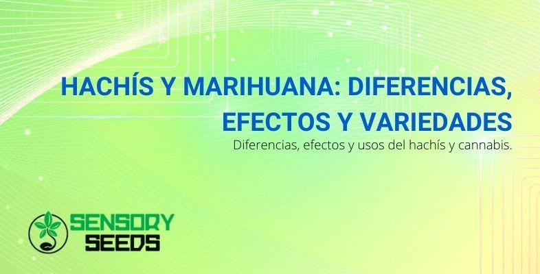 Los efectos, las diferencias entre el hachís y la marihuana y las variedades